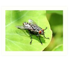 Flesh Fly Art Print