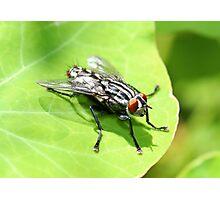Flesh Fly Photographic Print