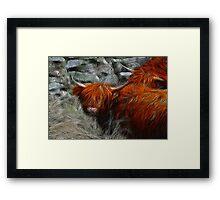 Highland Bulls Framed Print