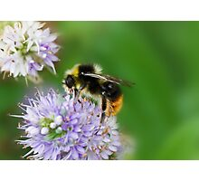 Red shanked carder bee,Bombus ruderarius. Photographic Print