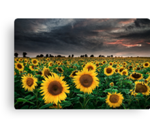 Sunflowers of the Storm Canvas Print
