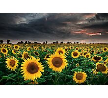 Sunflowers of the Storm Photographic Print