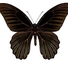 "Butterfly species papilio memnon memnon""Great Mormon"" by paulrommer"