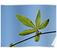 Backlit passionfruit leaf Poster