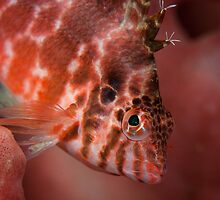 Hawk fish - Lembeh Straits by Stephen Colquitt