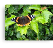 Red Admiral on a Beech Hedge Canvas Print