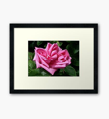 Pink Rose #1 Framed Print