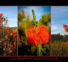 Gravel Bottlebrush, Denmark, WA  by pennyswork
