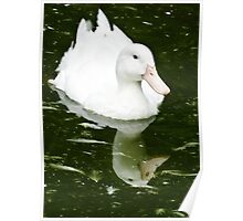 White Duck and Reflection Poster