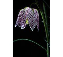 Glowing Fritillary Flower Photographic Print