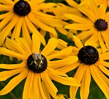 Black Eyed Susans and Bumble Bees by Bryan Peterson