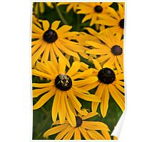 Black Eyed Susans and Bumble Bees Poster