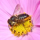 Leaf Cutter Bee by AnnDixon
