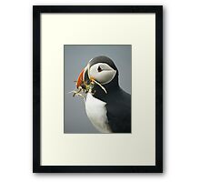 Puffin with nesting materials Framed Print