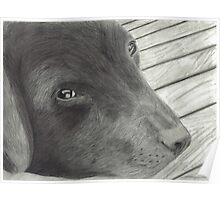 Labrador Resting on Wooden Deck Poster