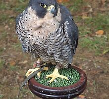 Falco peregrinus by rualexa