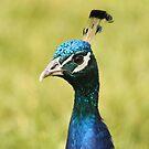Peacock by vasu
