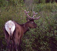 Bull Elk of Rocky Mountain National Park, Colorado by David  Hughes