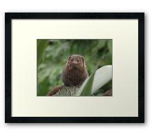 Dwarf Mongoose Framed Print