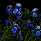 Lovely Irises by DHParsons