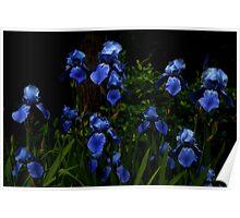 Lovely Irises Poster