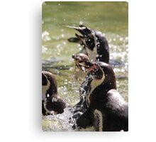 African Penguin (Spheniscus demersus) Canvas Print