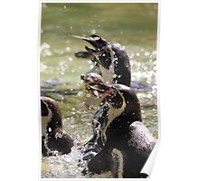 African Penguin (Spheniscus demersus) Poster