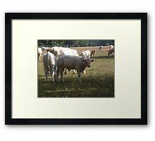 Country Cows Framed Print