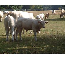 Country Cows Photographic Print