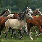 arabian horses by tarantella