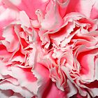 Pink & White Carnation by aneyefornature