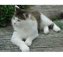 Maine Coon Cat 2 Photographic Print
