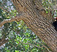 A Family of Acorn Woodpeckers, Melanerpes formicivorus by Corri Gryting Gutzman