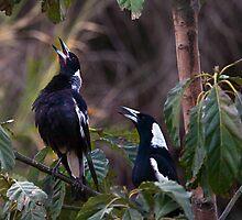Australian magpies singing by Odille Esmonde-Morgan