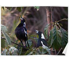 Australian magpies singing Poster