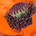 The Heart of a Poppy by aneyefornature