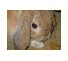 Dwarf Lop Eared Rabbit  Art Print