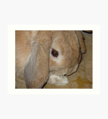 Dwarf Lop Eared Rabbit  Art Print