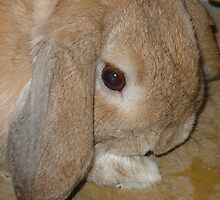 Dwarf Lop Eared Rabbit  by aneyefornature