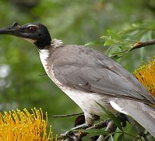 Noisy Friarbird by Trish Meyer