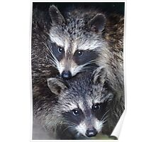 Adorable Baby Racoons Poster
