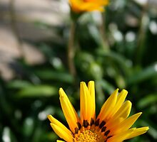 yellow flowers in a short depth of field by paulv