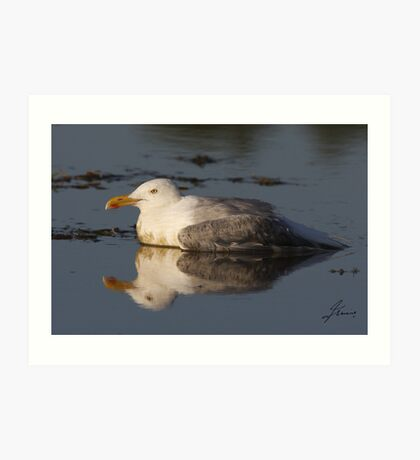 The Sundown Herring Gull Art Print