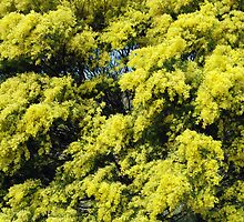 Wattle tree by alanball