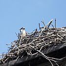 New Spring Osprey Chick 2 by byronbackyard
