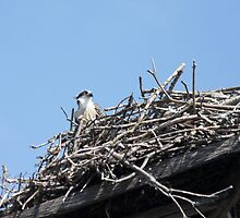 New Spring Osprey Chick 2 by byronbackyard