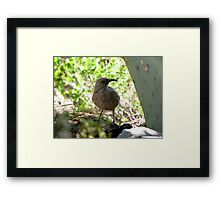 Curved-bill Thrasher Framed Print