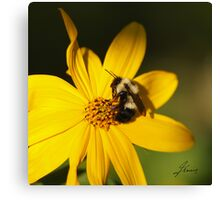 The Methotical Bumble Bee Canvas Print