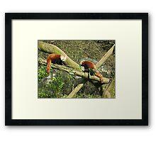 Red pandas Framed Print