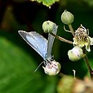 Holly Blue Female by Russell Couch